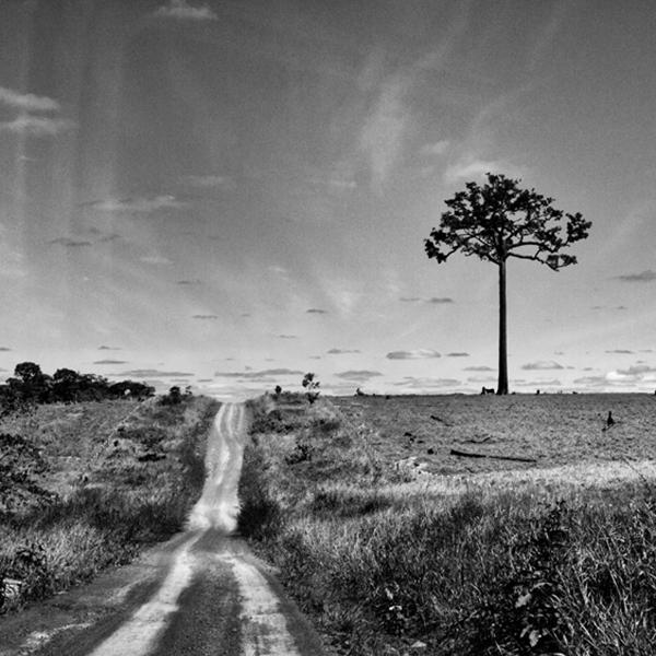 © pino ninfa-L'albero della noce brasiliana pur senza ecosistema è sopravvissuto agli incendi attivati per trasformare la foresta in terreno da pascolo- Cobijca Bolivia