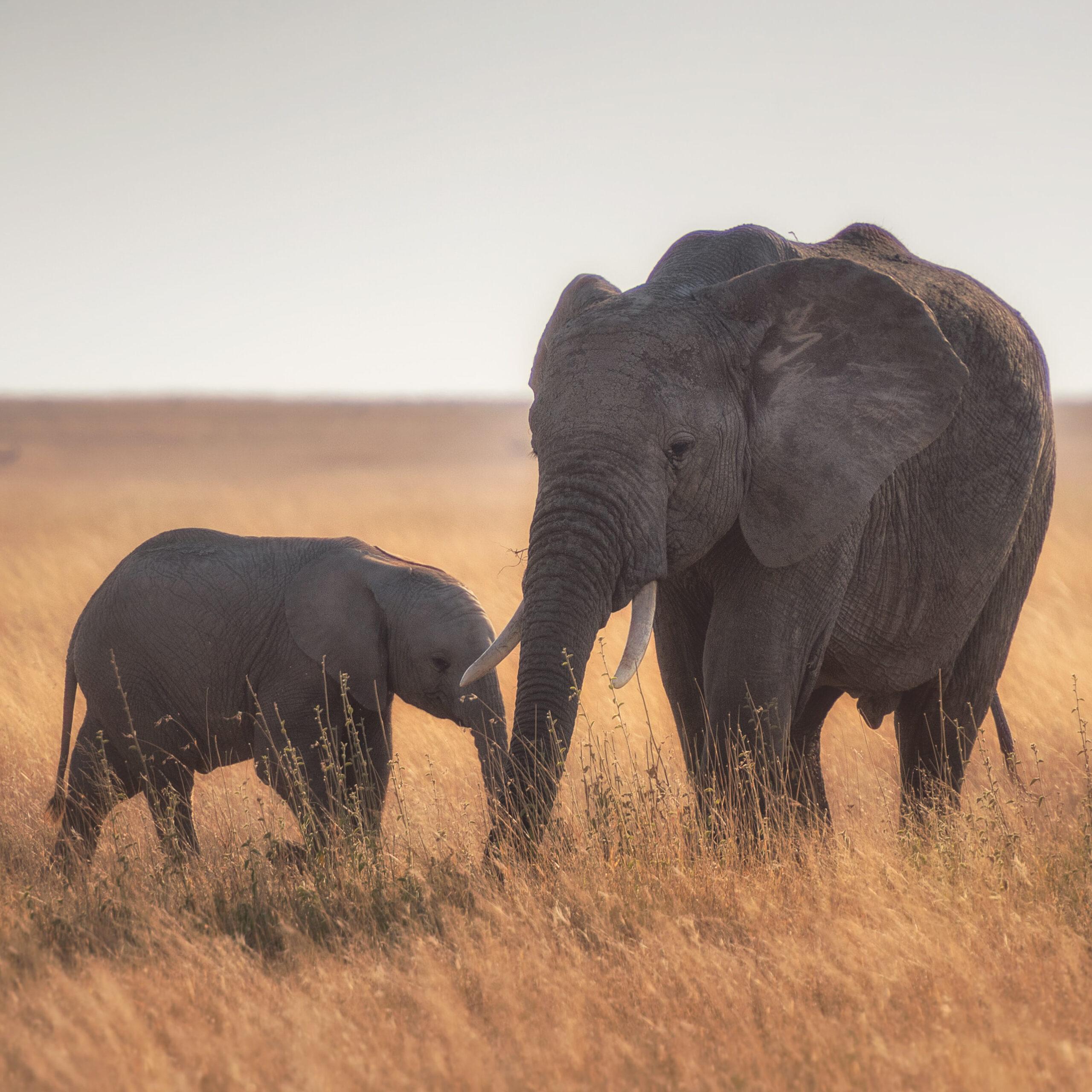 elefante e elefantino camminano nella savana