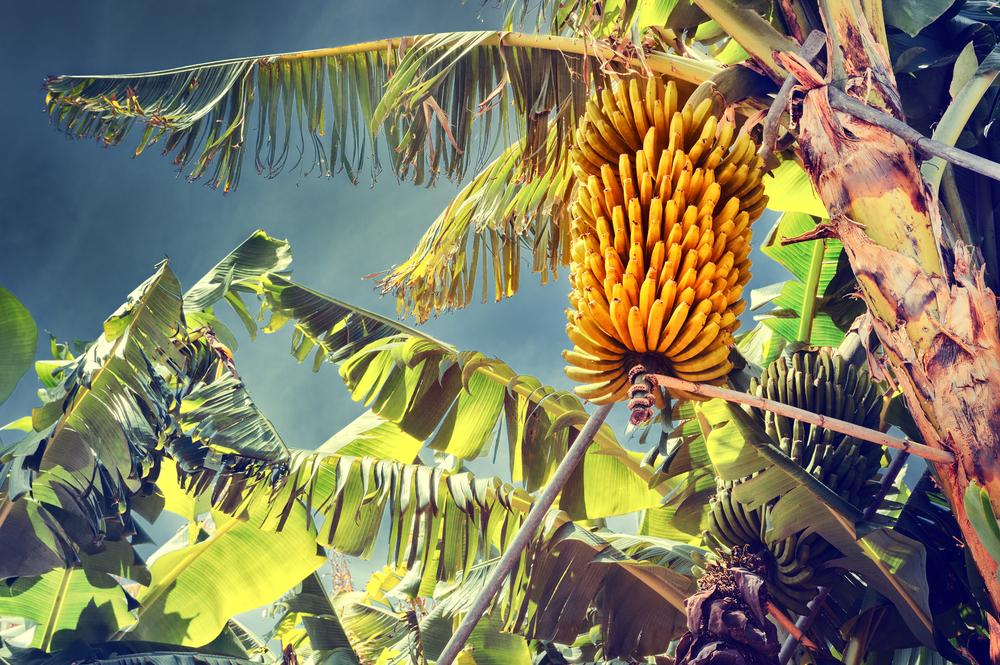 Banano, tronco e frutto